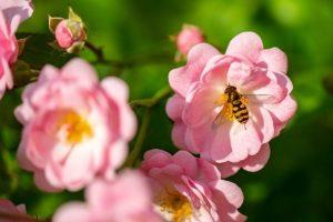 biodiversite-abeille-fleur